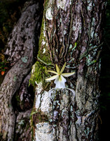 Ghost Orchid-7