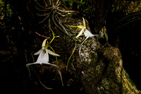 Ghost Orchid-1